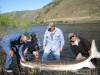 Really fat Snake River Sturgeon